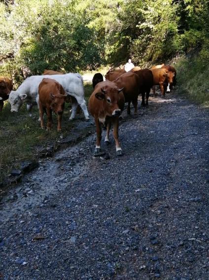 20 10 12 retour vaches 3