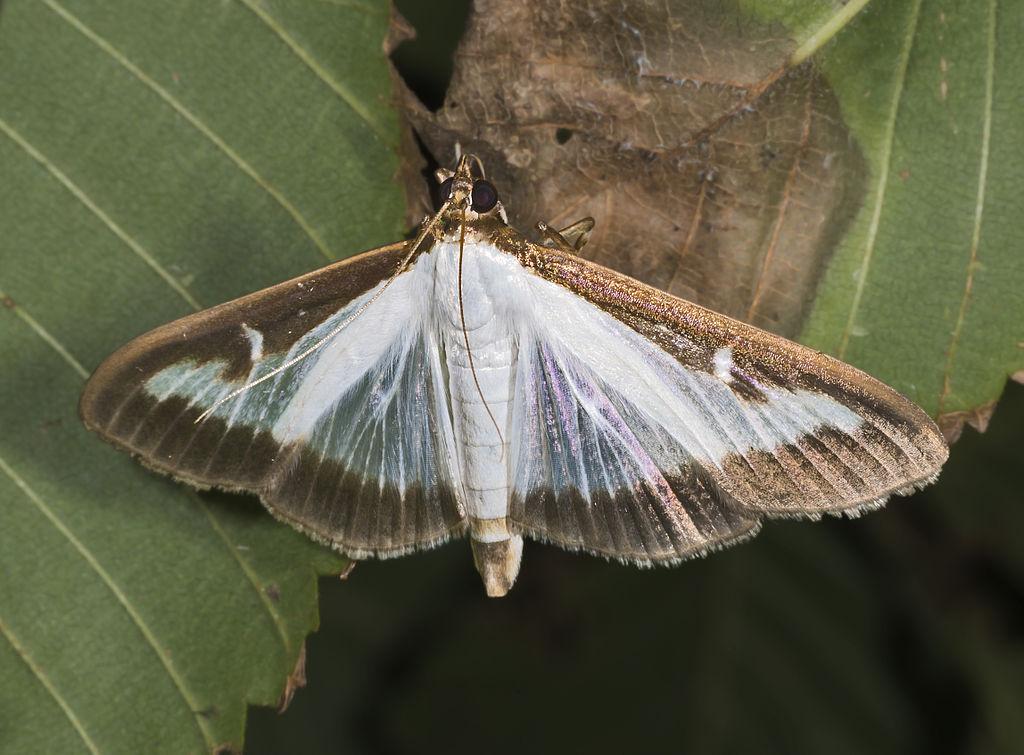 Pyrale papillon