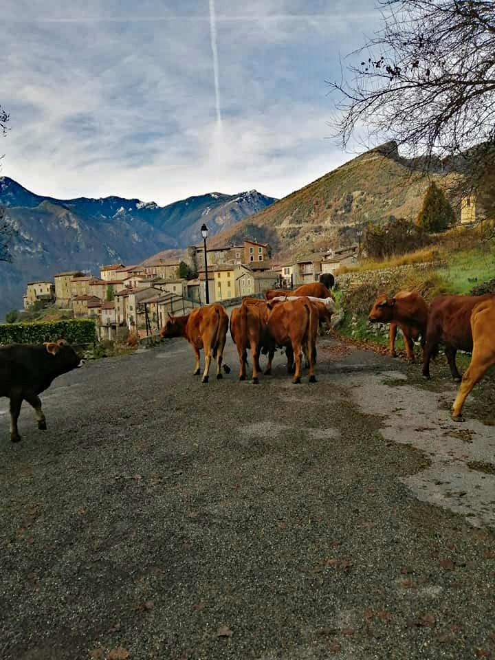 Vaches 1